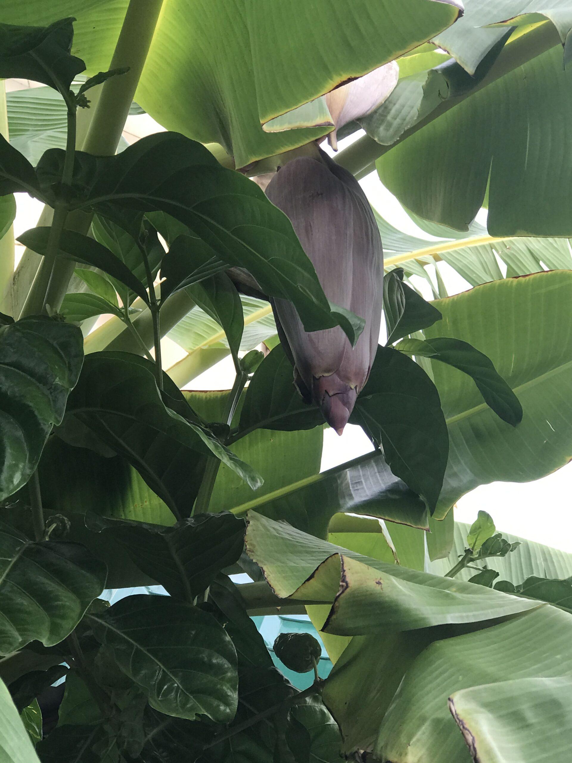Bananplant2