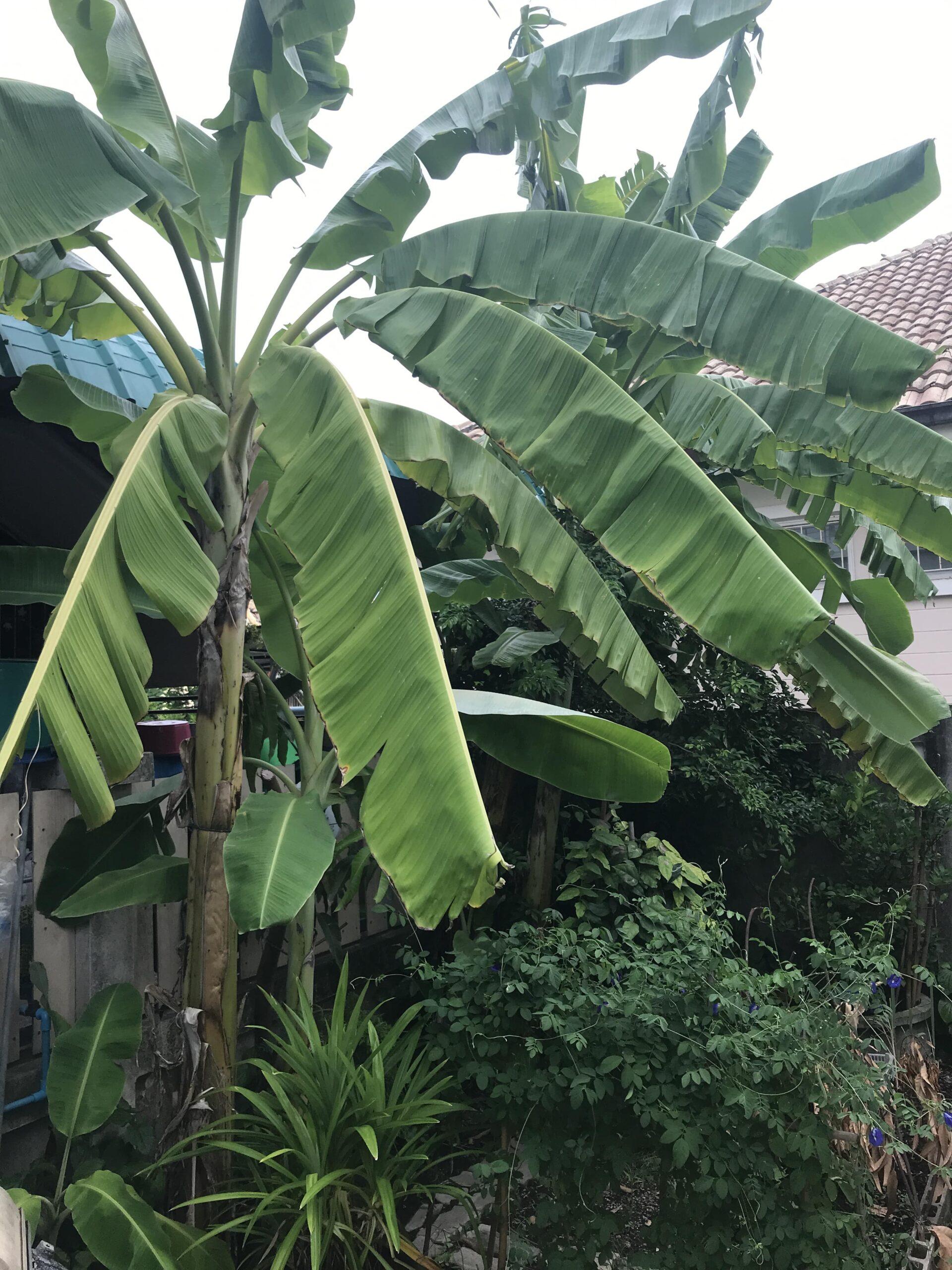 Bananplanta1